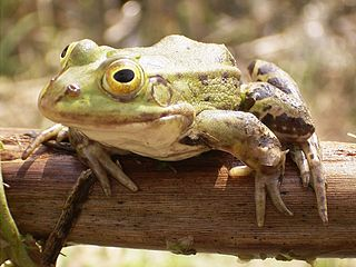 http://commons.wikimedia.org/wiki/File:Frog_on_bough.jpg